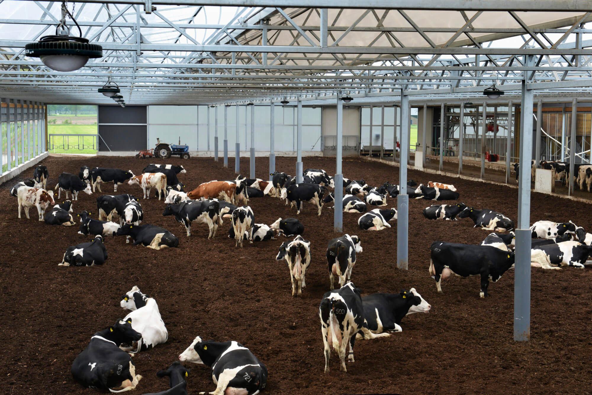 Vrijloopstal melkveehouderij