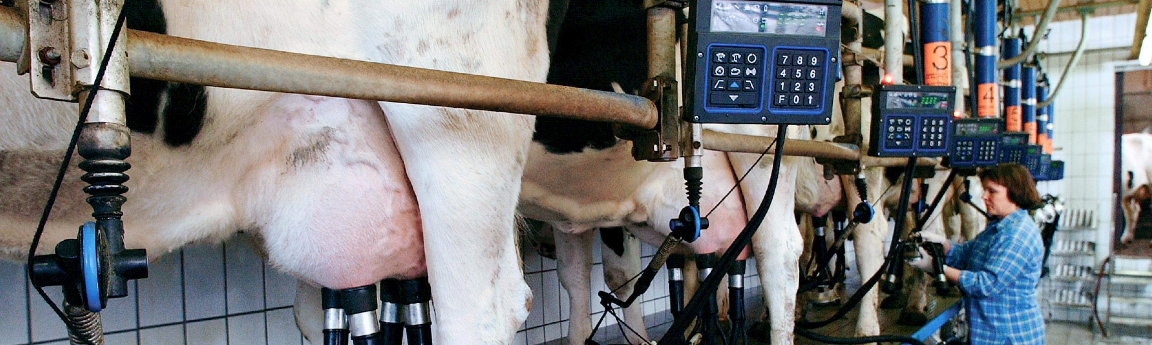 Koeien melken melkmachine