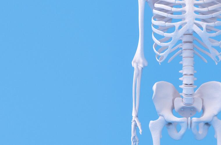Anatomie model menselijk skelet