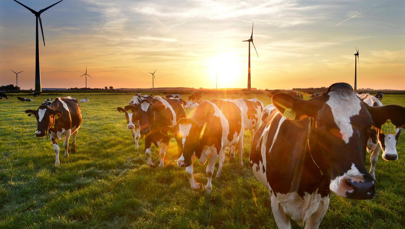 Koeien met zonsondergang in de wei