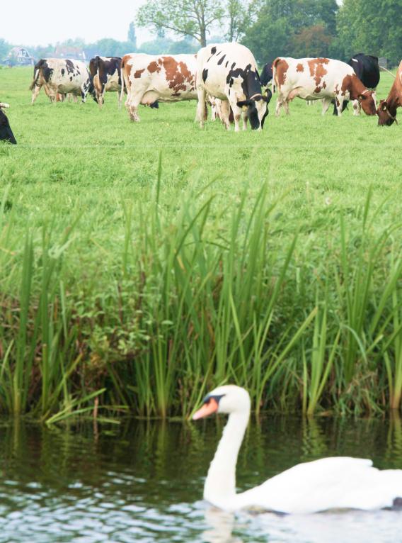 Koeien die in de wei staan
