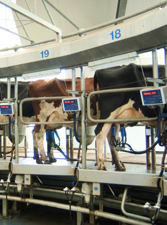 Koeien worden gemolken in de draaimelkstal