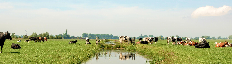 Brede weide met koeien die grazen