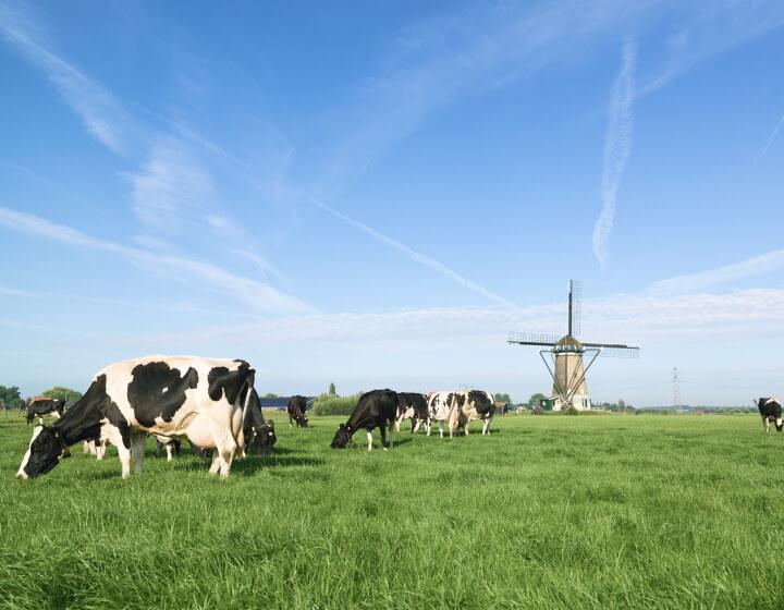 Koeien grazen in de wei