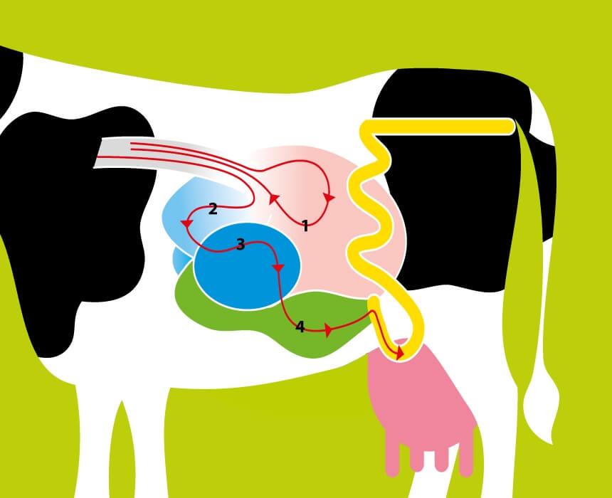 Vier magen van een koe