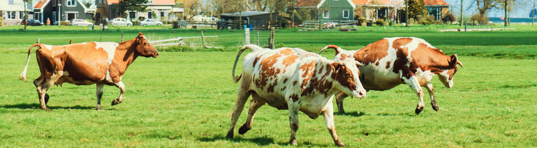 Koeien rennen door de wei
